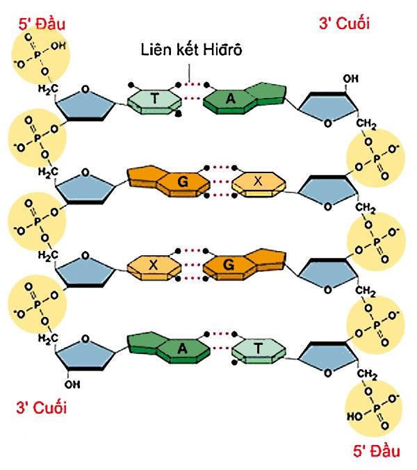 Liên kết hidro trong ADN